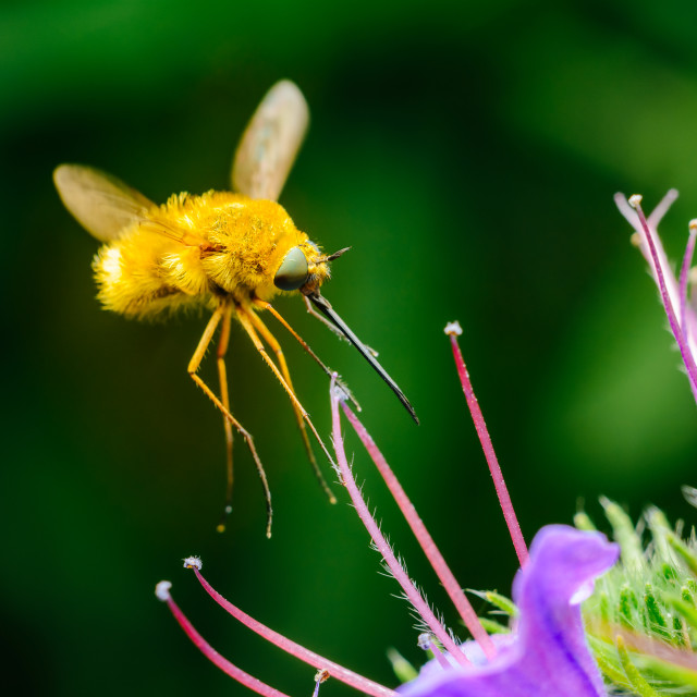 """The Large Bee-Fly (Bombylius Major) Gathers Flower Pollen"" stock image"