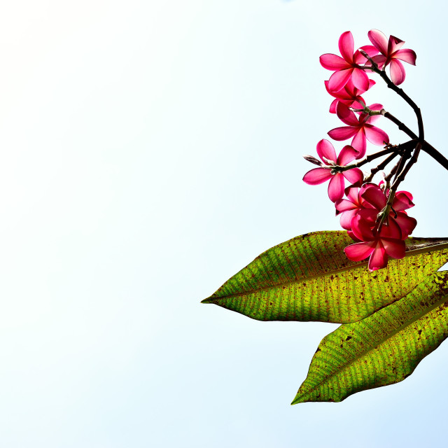 """""""Pink Frangipani flowers against the Sky"""" stock image"""