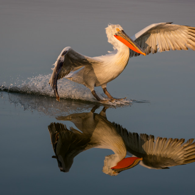 """A Dalmatian pelican in flight"" stock image"