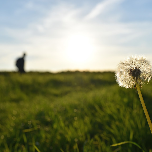 """Dandelion with background figure"" stock image"