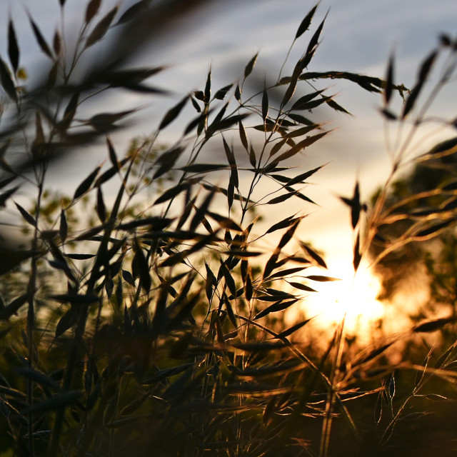 """Silhouetted Grass"" stock image"