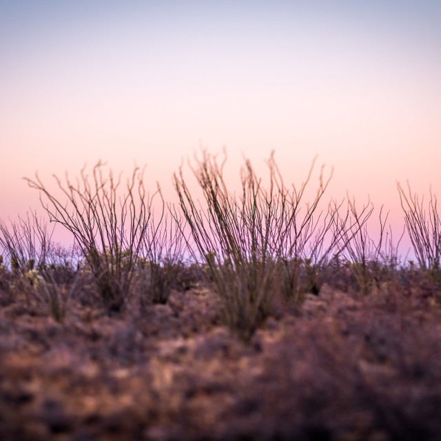 """Ocotillo Cactus at sunset"" stock image"