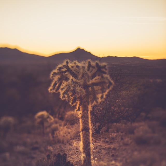 """Cholla Cactus Arizona desert"" stock image"