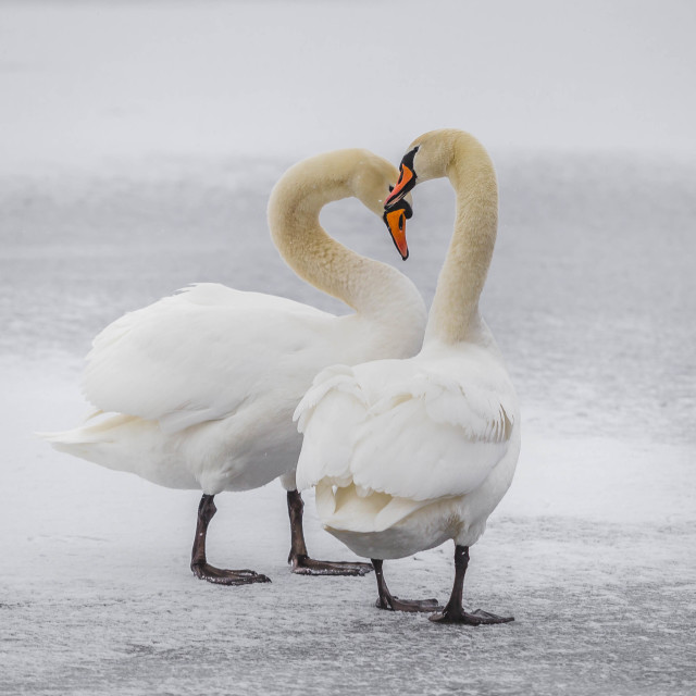 """Swan dance in the winter"" stock image"