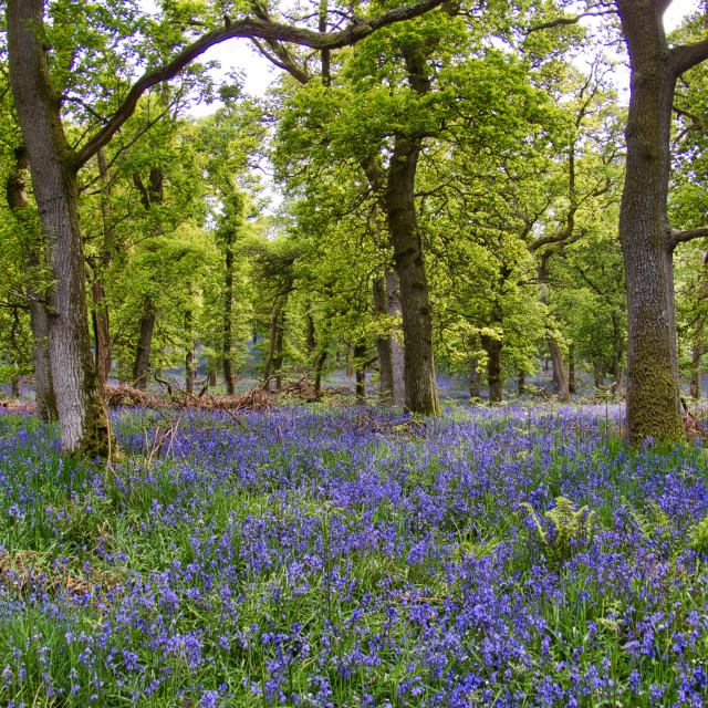 """Bluebells in Kinclaven Woods"" stock image"