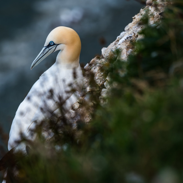 """A gannet looking out at the sea."" stock image"