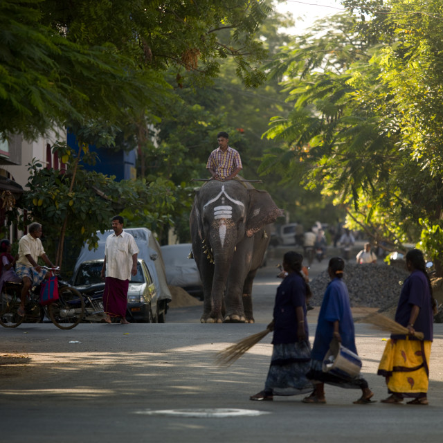 """Elephant Wearing Traditional Painting On Its Forehead Crossing A Street Wiht..."" stock image"