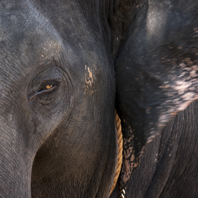 """Close Up Of A Asian Elephant, Kochi, India"" stock image"