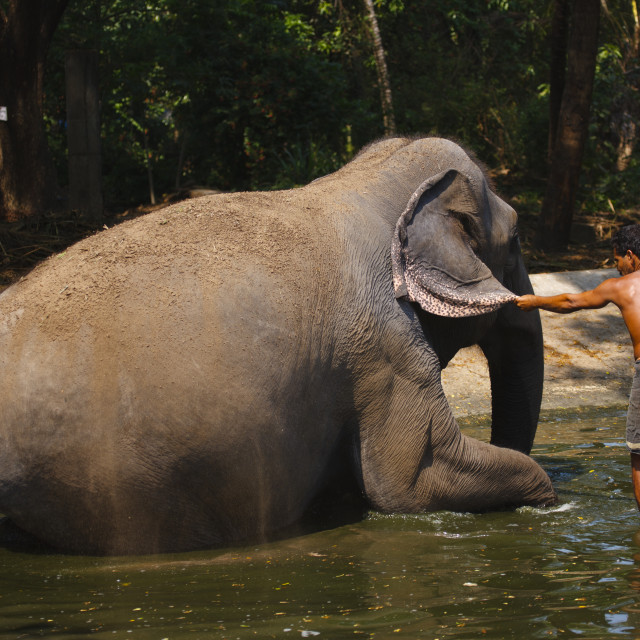 """Elephant Sitting Down For Bath Time, Kochi, India"" stock image"