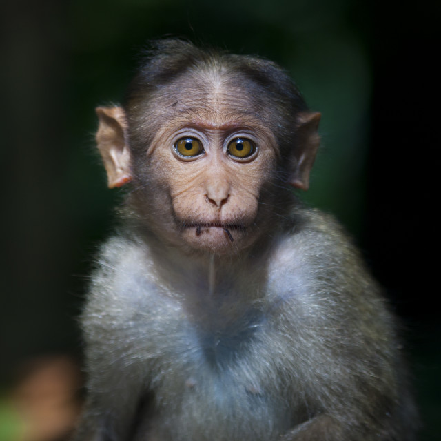 """Little Monkey Starring At The Camera, Mysore, India"" stock image"