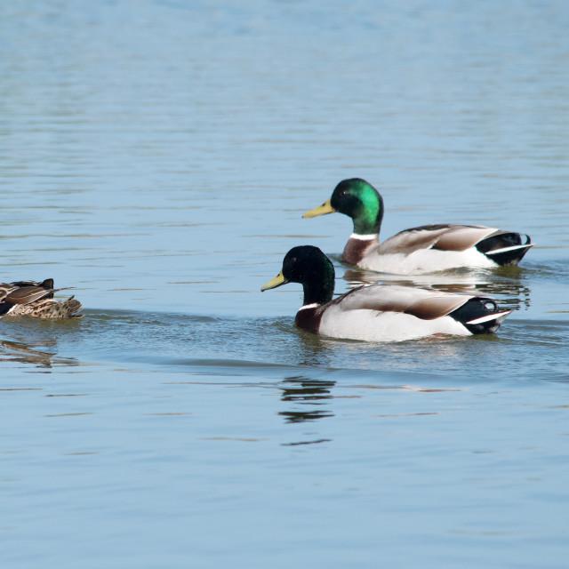 """Mallard Ducks with chicks"" stock image"