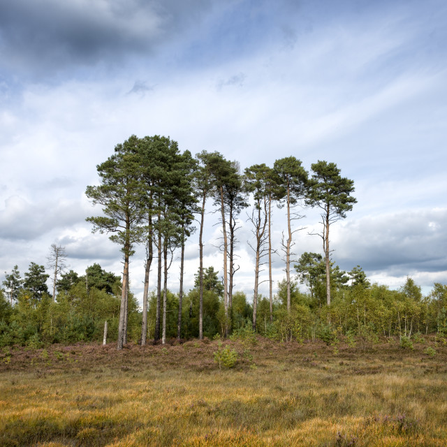 """trees on the horizon with moody sky, Thursley Nature Reserve,"" stock image"