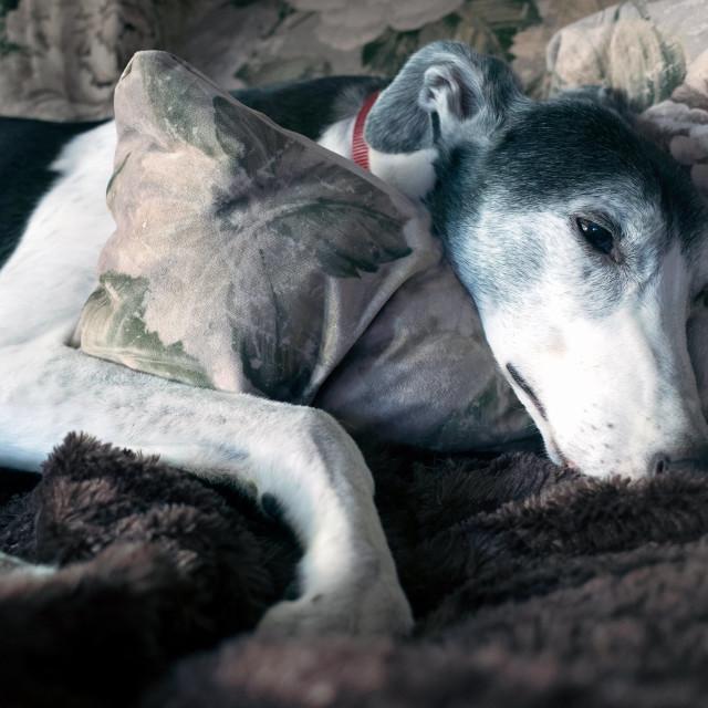 """Dog tired"" stock image"