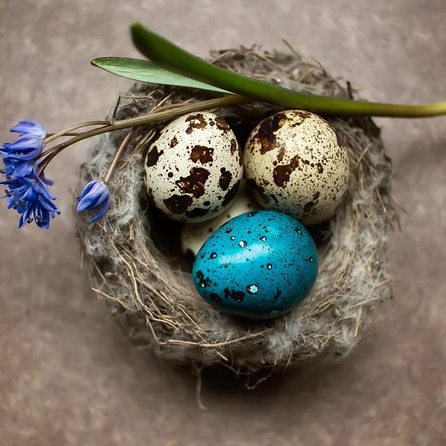 """""""Easter quail eggs in nest"""" stock image"""