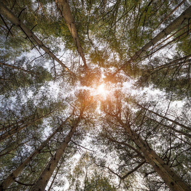 """View looking up to the sun from the base of pine trees, Surrey Hills, UK."" stock image"