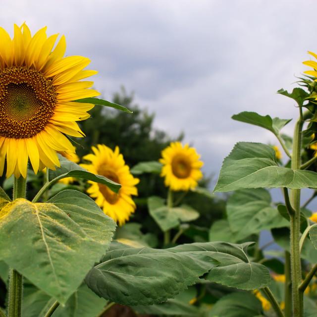 """Field of sunflowers"" stock image"