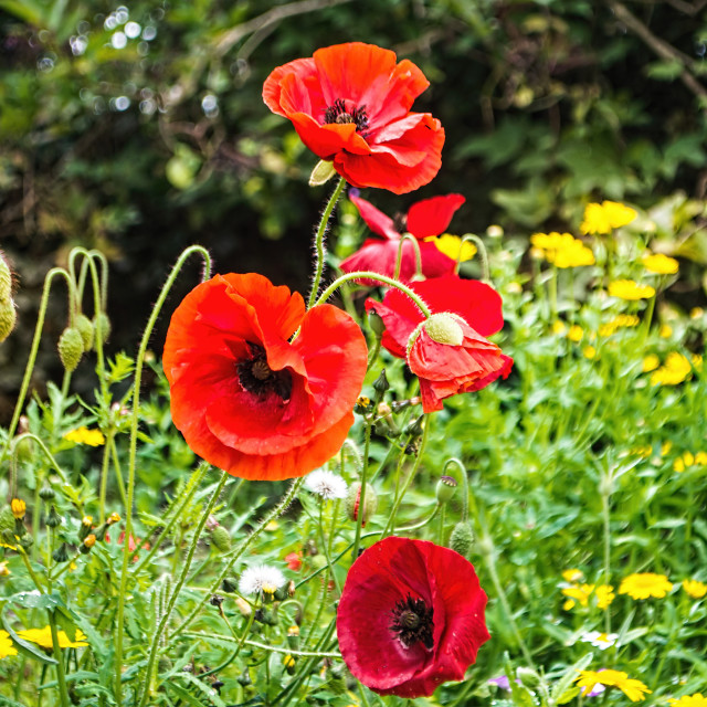 """Wild Poppies"" stock image"
