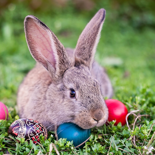 """""""Easter rabbit and Easter eggs"""" stock image"""