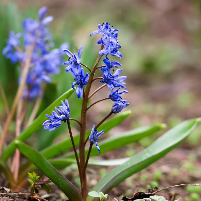 """Beautiful tenderly bluebell"" stock image"