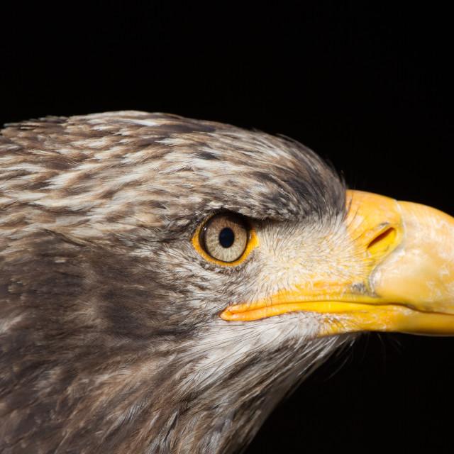 """Bald Eagle (Haliaeetus leucocephalus) Portrait also known as American Eagle"" stock image"