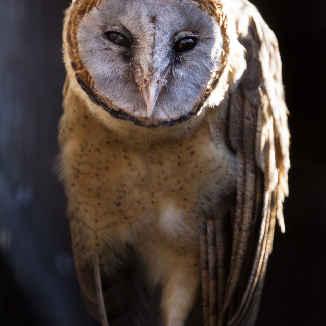 """ashy faced owl (tyto glaucops) perched looking at camera"" stock image"