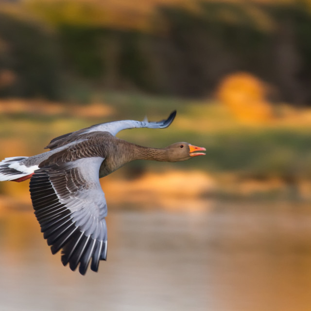 """Greylag Goose (Anser anser) in flight"" stock image"