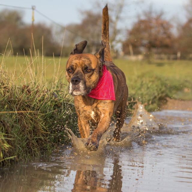 """Cute Dog Running through Puddle"" stock image"