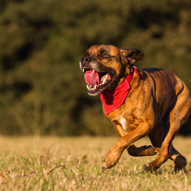 """Happy Pet Dog Running With Bandana"" stock image"