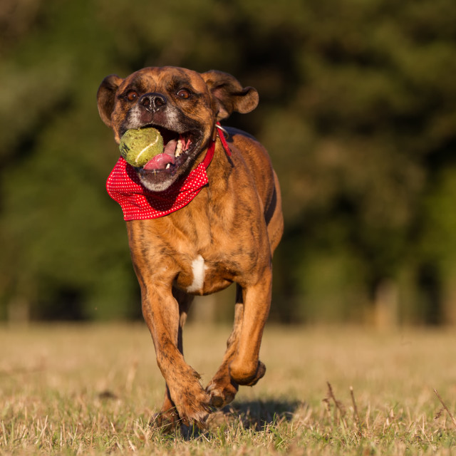 """Happy Dog Running With Ball in an open space"" stock image"