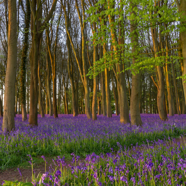 """Bluebell Carpet in Ancient woodland at first light"" stock image"
