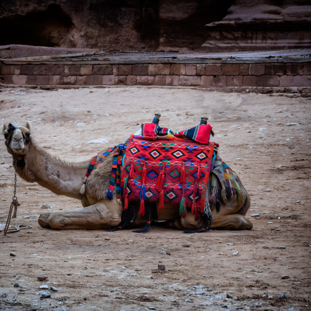 """""""Camel in Petra lost city,"""" stock image"""