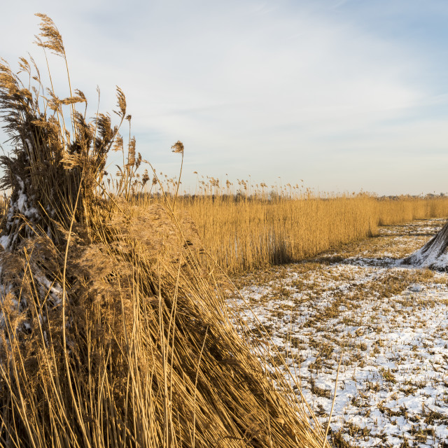 """""""Cane Cultivation Field in Winter Giethoorn"""" stock image"""