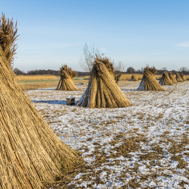 """""""Cane Cultivation in Winter Giethoorn"""" stock image"""