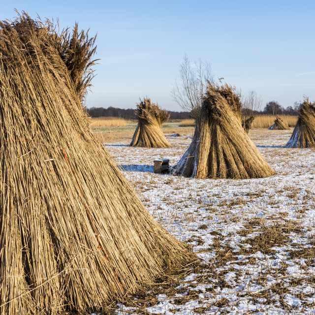 """""""Cane Cultivation in Giethoorn"""" stock image"""
