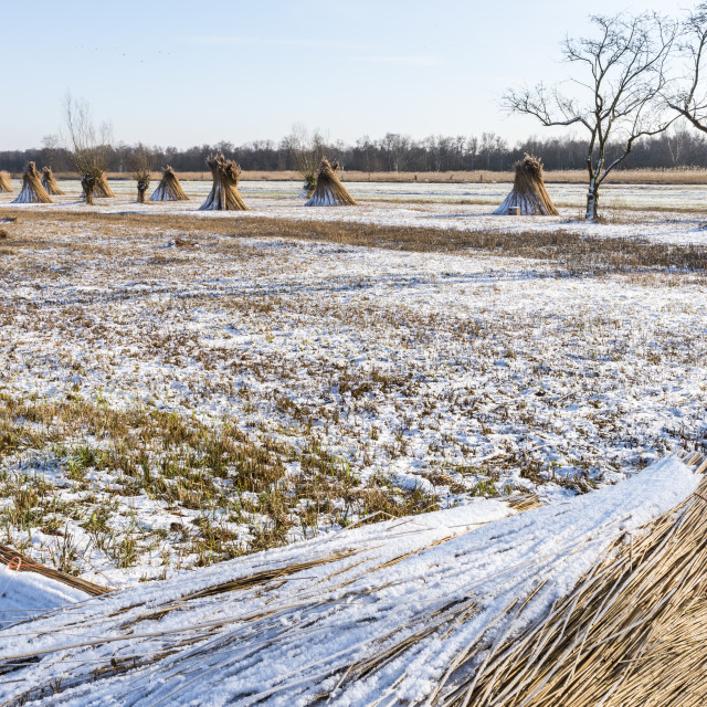 """""""Cane Cultivation on Winter Meadow Giethoorn Holland"""" stock image"""