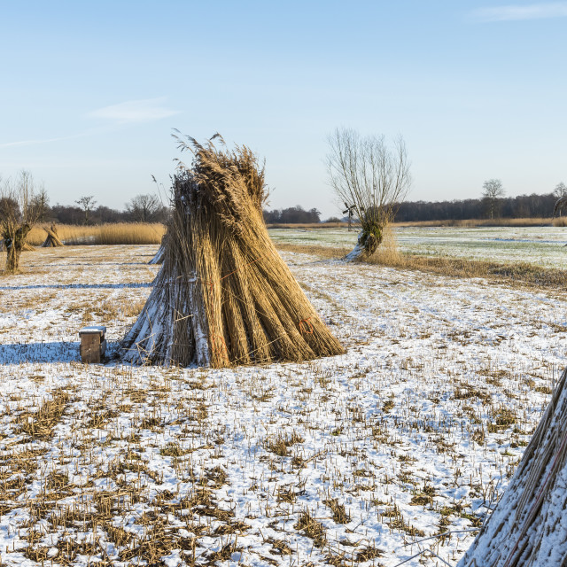 """""""Cane Cultivation in Winter, Giethoorn"""" stock image"""