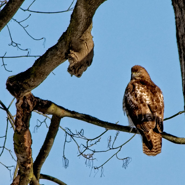 """Red Tail Hawk"" stock image"