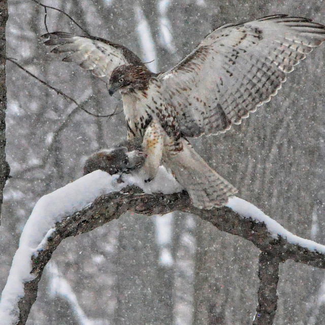 """Red Tail Hawk Hunting"" stock image"