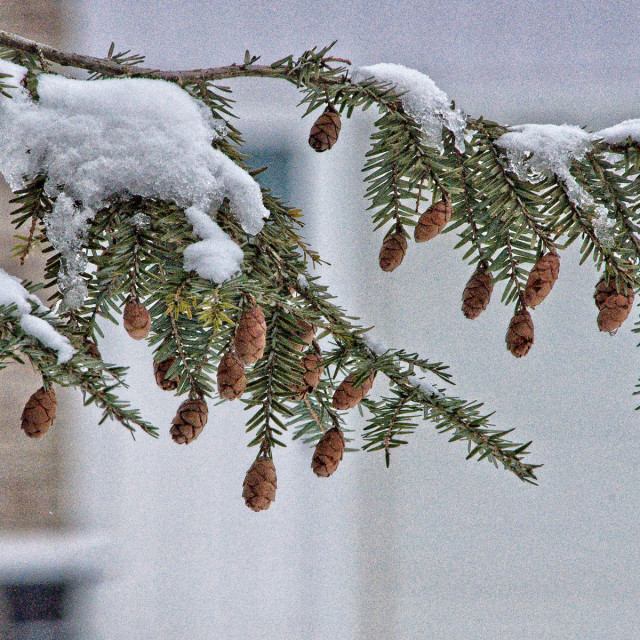 """Winter Pine Cones"" stock image"