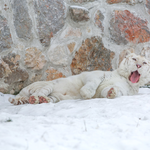 """""""White tiger laying at zoo on snowy day in front of old rocky wal"""" stock image"""