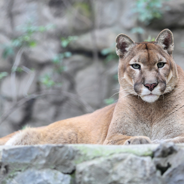 """""""Mountain lion laying on rocky pedestal in zoo"""" stock image"""