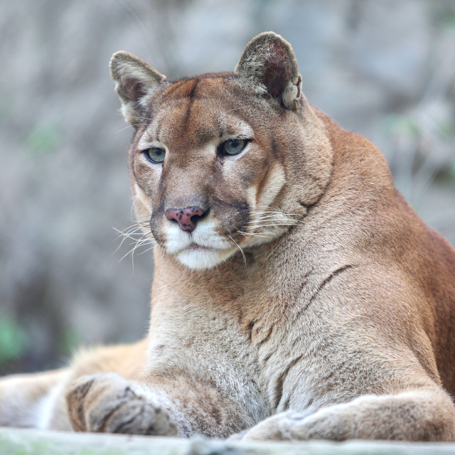 """""""Bored mountain lion laying on rocky pedestal in zoo"""" stock image"""