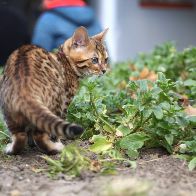 """""""Bengal kitten with purple collar playing in garden"""" stock image"""