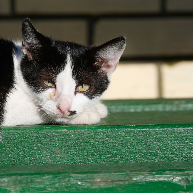 """""""Portrait of black and white cat laying on bench"""" stock image"""