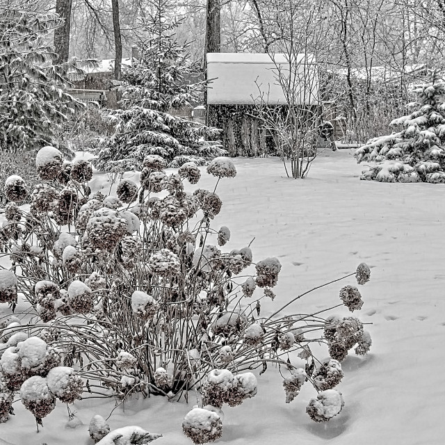 """Winter Hydrangea"" stock image"
