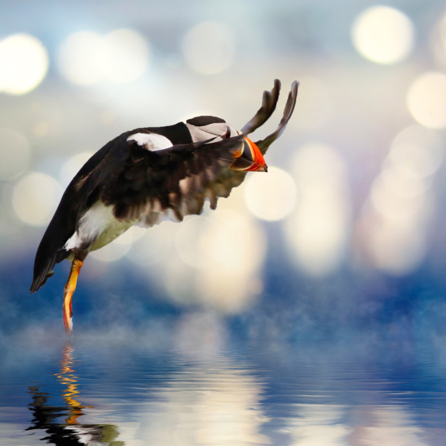 """Atlantic Puffin in final approach"" stock image"