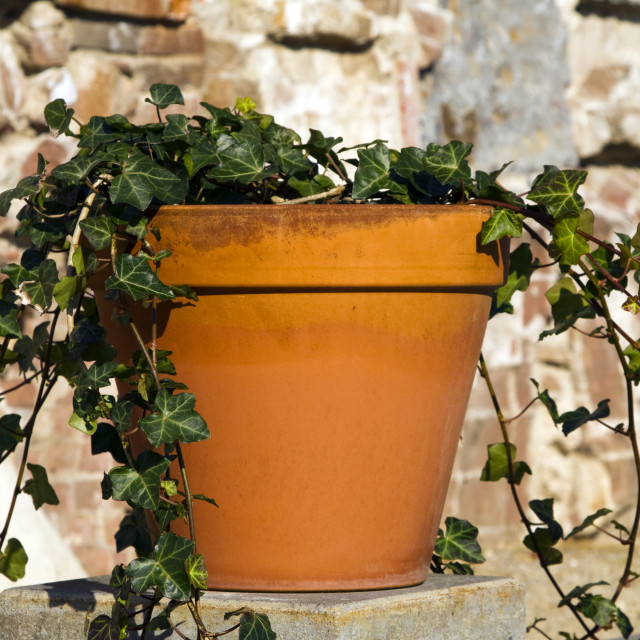 """Ivy in terracotta pot"" stock image"