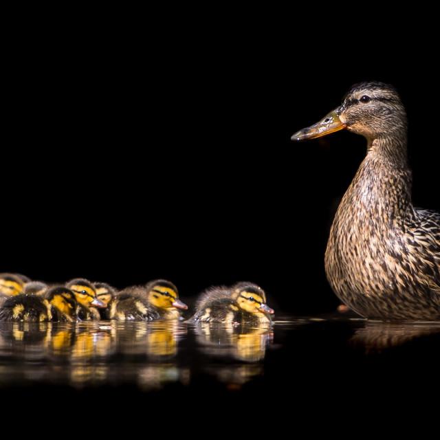 """Mallard Family"" stock image"