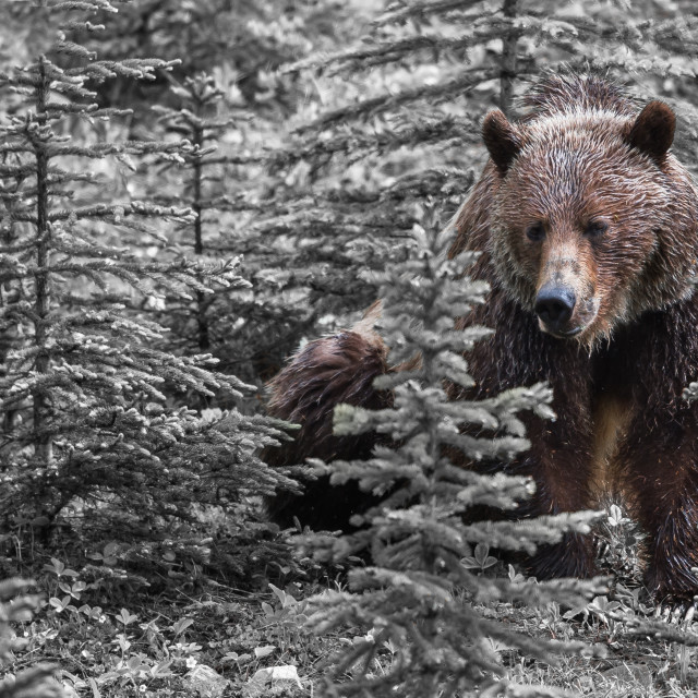 """""""Grizzly Bear"""" stock image"""