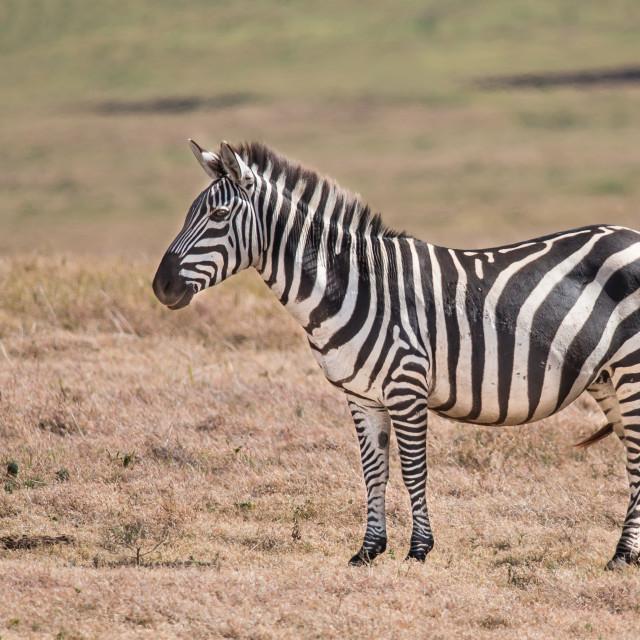 """African Zebra"" stock image"